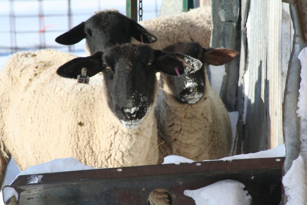 Three Suffolk from T-Rick-Mir Farm