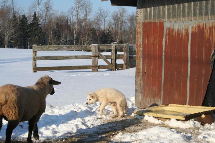 Sheep | Purebred Sheep Breeders Association of Nova Scotia